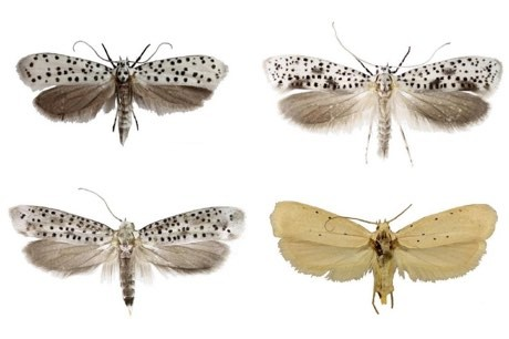 New species of moth Yponomeutidae horologa, Yponomeutidae onyxella, Yponomeutidae oromiensis and Yponomeutidae octocentra from eastern Africa were discovered in 2019 © Natural History Museum/PA