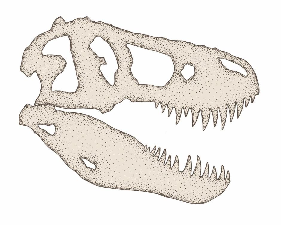 T. rex skull cross-section © Rachel Caldwell