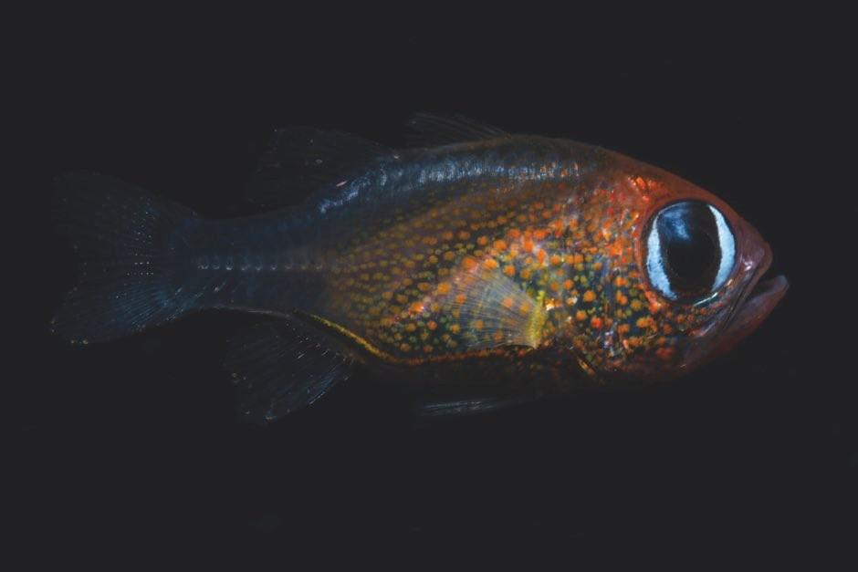 Siphamia arnazae (2) (© 2019 Mark Erdmann)