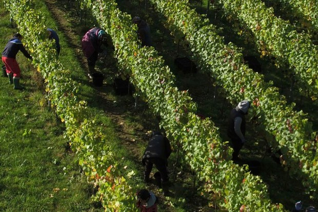 Wine is under threat from climate change, so change to hardier grapes, experts warn © Andrew Matthews/PA