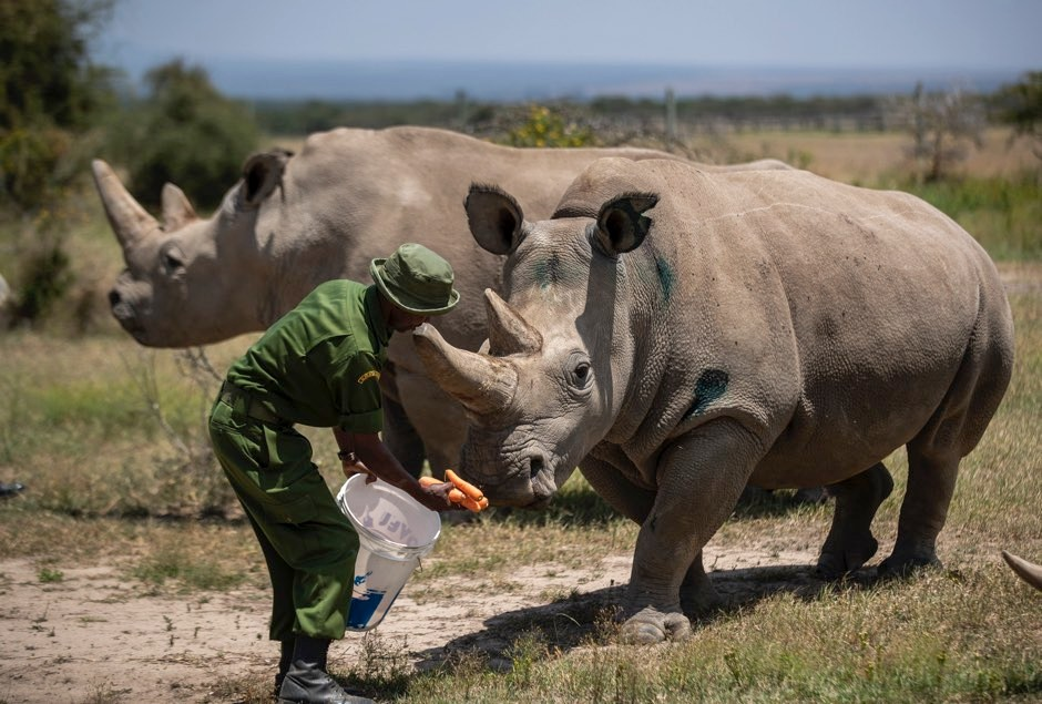Female northern white rhinos Fatu, 19, right, and Najin, 30, left, the last two northern white rhinos on the planet © Ben Curtis/PA