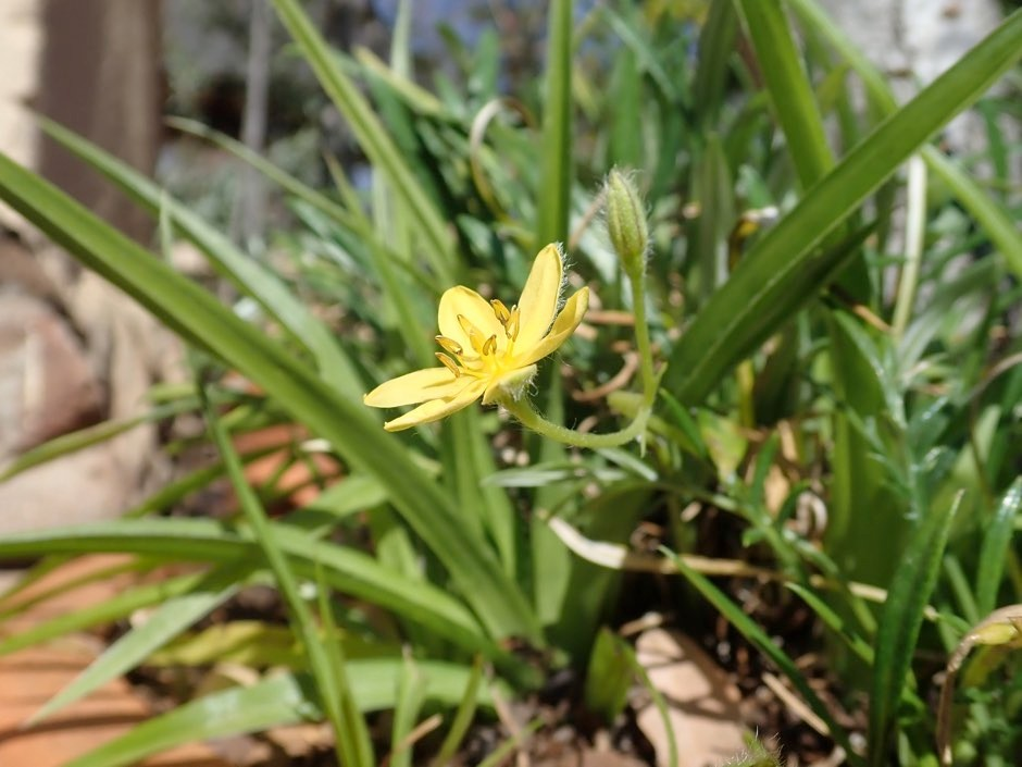 Hypoxis angustifolia has a white rhizome and can be found growing throughout southern Africa © Dr Lyn Wadley/Science Advances