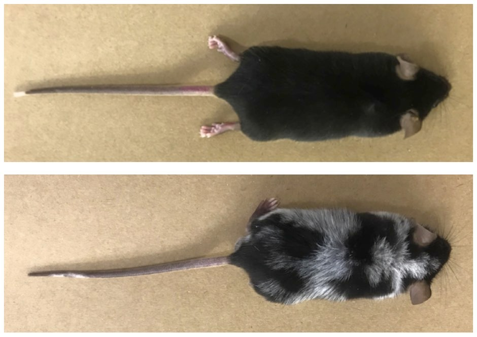Mice submitted to pain-inducing experiment, which resulted in loss of pigmentation, compared to dark-coloured mice in the control group © William A. Gonçalves/Center for Research on Inflammatory Diseases