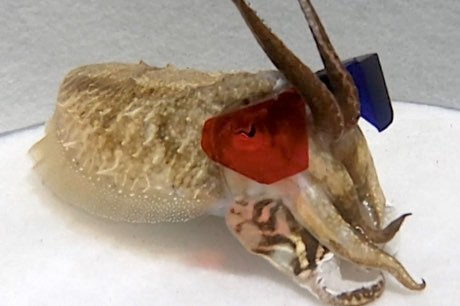 Scientists give cuttlefish 3D glasses to test their eyesight © R Feord/PA