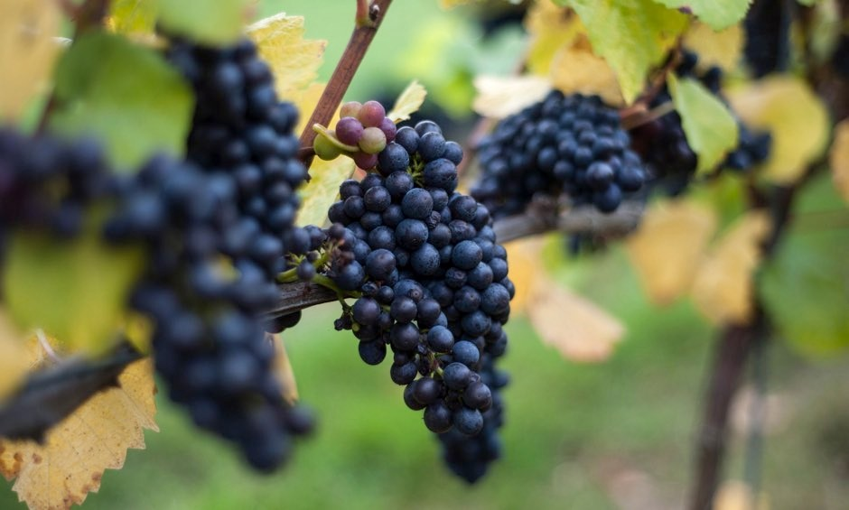 Hardier varieties of grape such as mourvedre and grenache would be more resistant to the effects of climate change © Andrew Matthews/PA