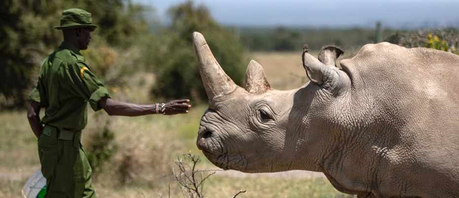 Northern white rhino embryo could save all-female subspecies from extinction © Ben Curtis/AP