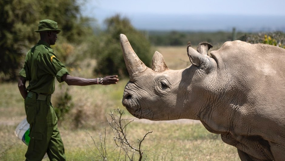 Northern white rhino embryo could save all-female subspecies from extinction