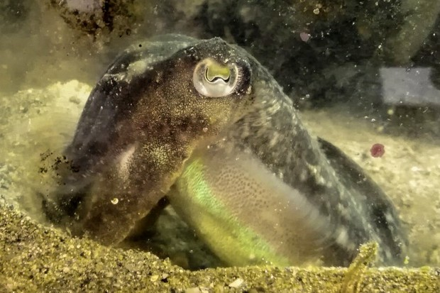 Cuttlefish skimp on lunch when there's shrimp for dinner © Pauline Billard