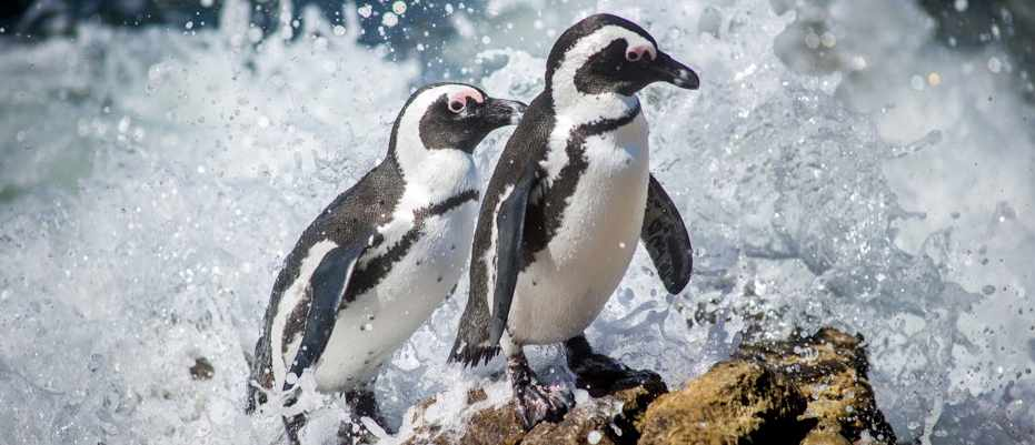 Penguin speech follows human language rules © Getty Images