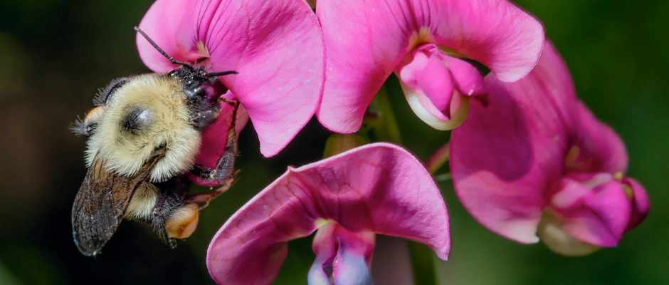 """Hotter temperatures could lead to a """"mass extinction"""" of bumblebees © Antoine Morin"""