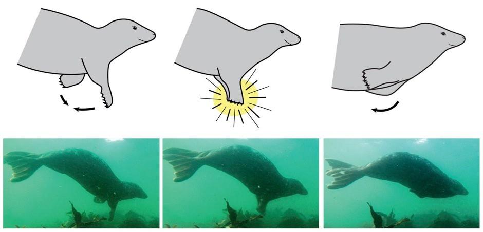 Grey seal clapping © Hocking et al/Marine Mammal Science