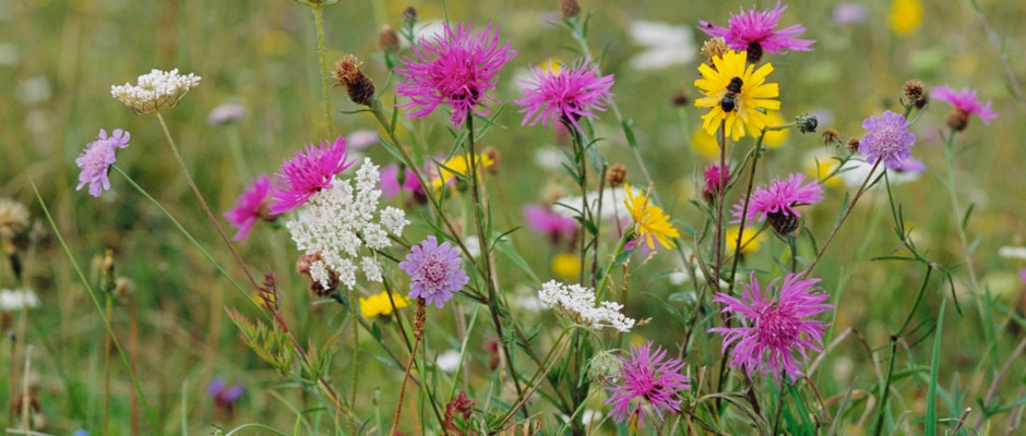 Wildflowers forced by climate change to move north will soon have nowhere left to go, experts warn