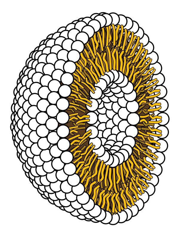 Một lớp kép lipid với đầu tròn, ưa nước hướng ra ngoài và đuôi kỵ nước hướng vào trong © LadyofHats / Miền công cộng