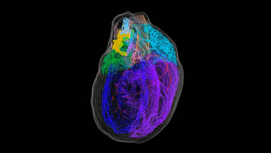 Virtual 3D recreation of the heart reveals nerve cells network