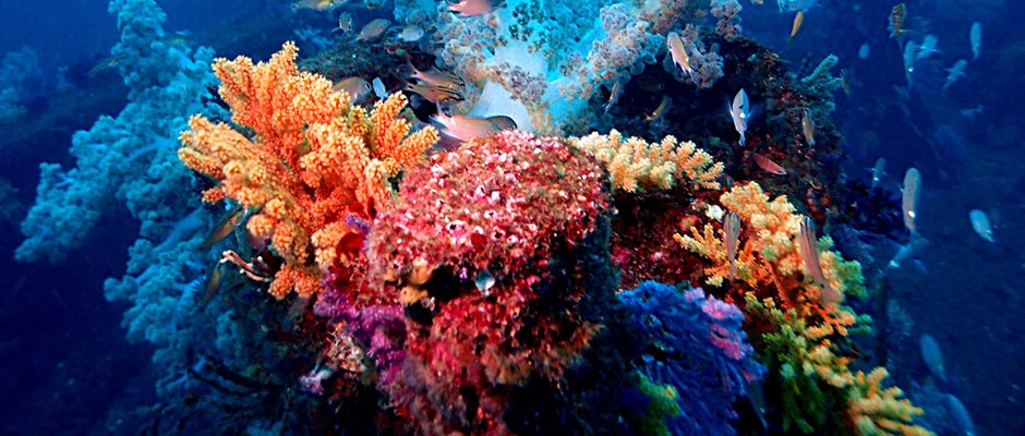 Corals produce 'dazzling' neon colours to protect themselves from bleaching
