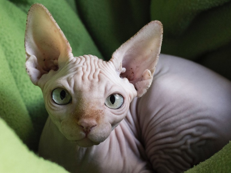 Why are Sphynx cats hairless? - BBC Science Focus Magazine
