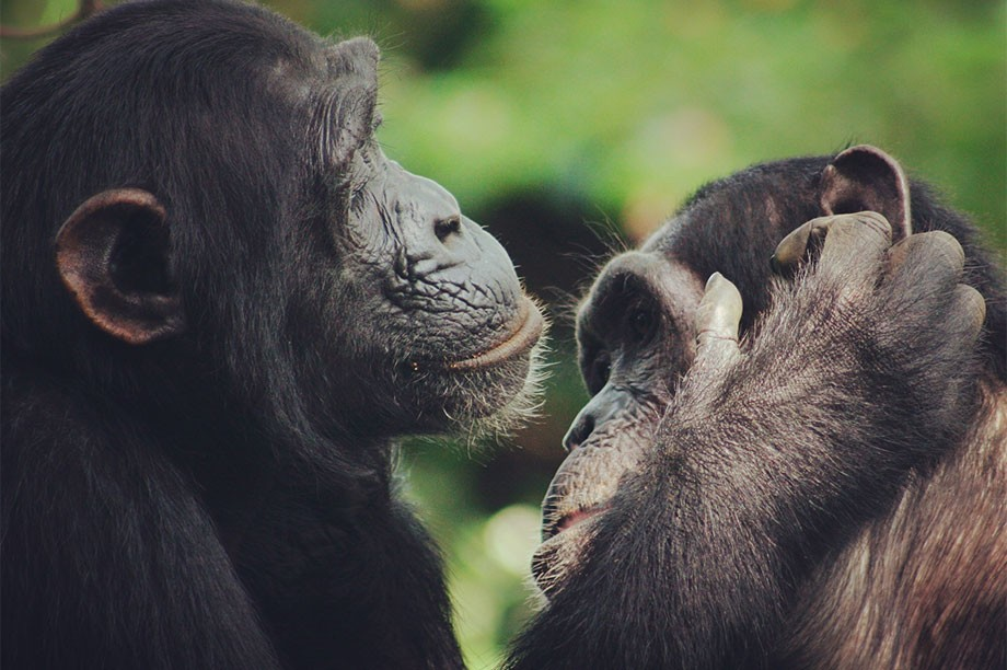 Human speech has 'ancient roots within primate communication'