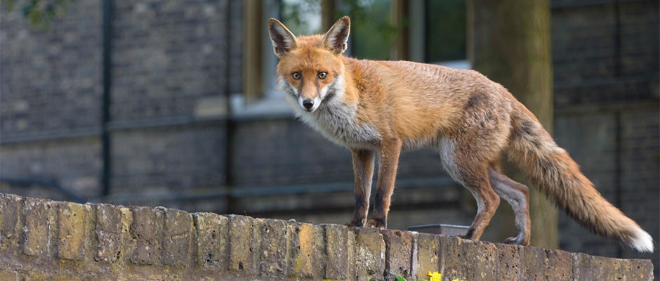 Urban Foxes Evolving Dog Like Skulls And Snouts Bbc Science Focus Magazine