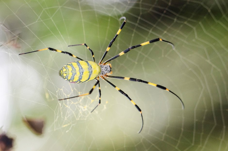 Genetically-modified marine bacteria able to produce synthetic spider silk