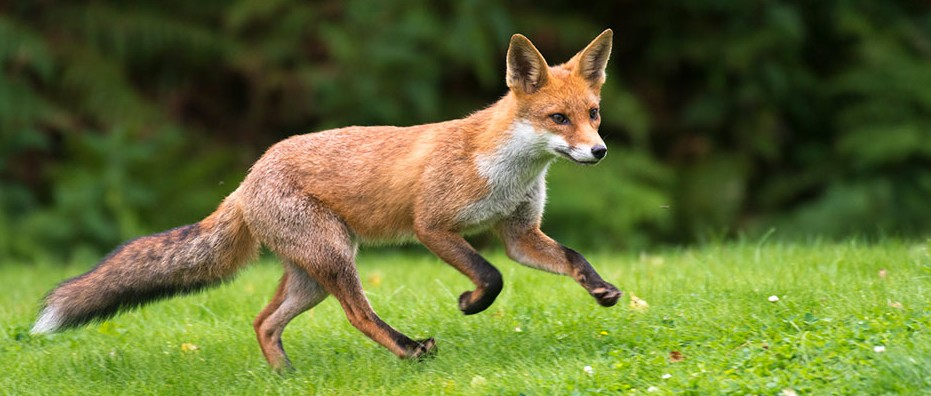 Foxes Have Been Scavenging From Humans For 42 000 Years Bbc Science Focus Magazine