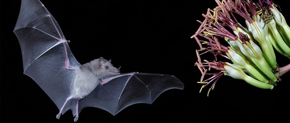 Tequila bats' ancestral origins revealed by conservationists