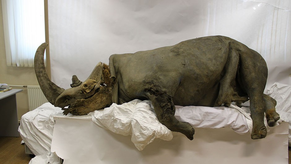 Extinct woolly rhinos were a victim of climate change, not overhunting - BBC Focus Magazine
