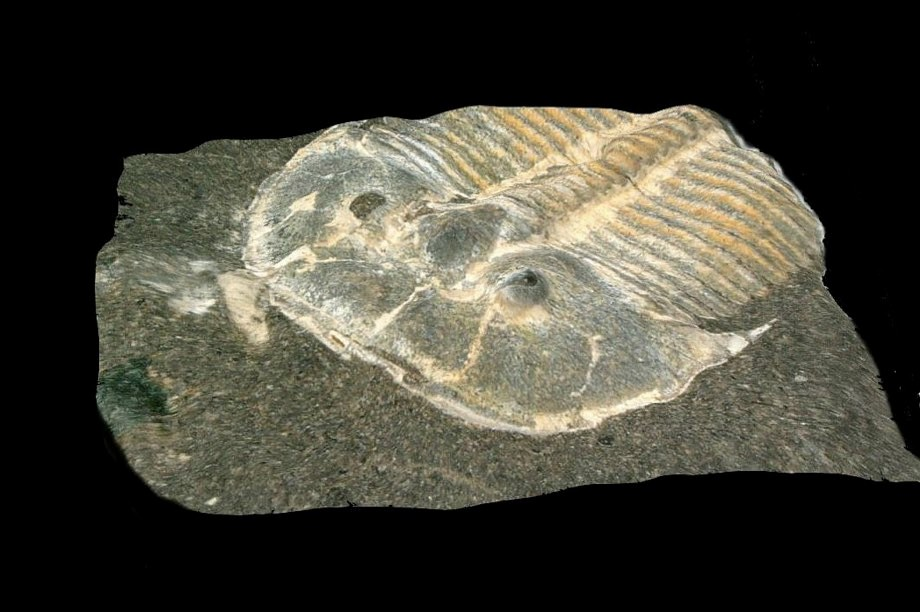 429-million-year-old trilobite eye fossil 'almost identical to that of modern bees'