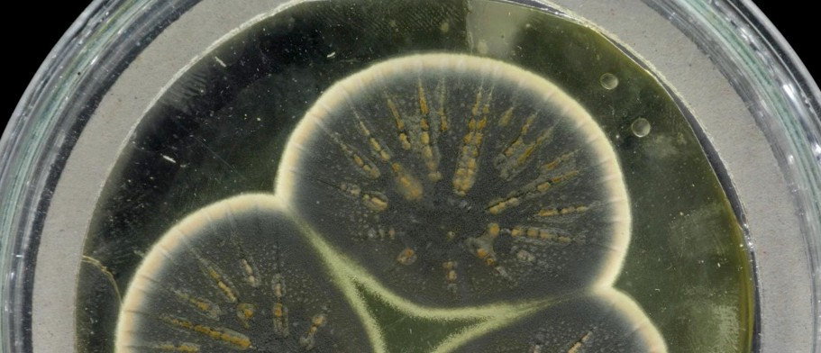 Genome of Alexander Fleming's original penicillin mould sequenced