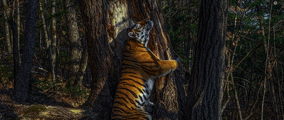 Tiger's tender moment wins Wildlife Photographer of the Year 2020 competition