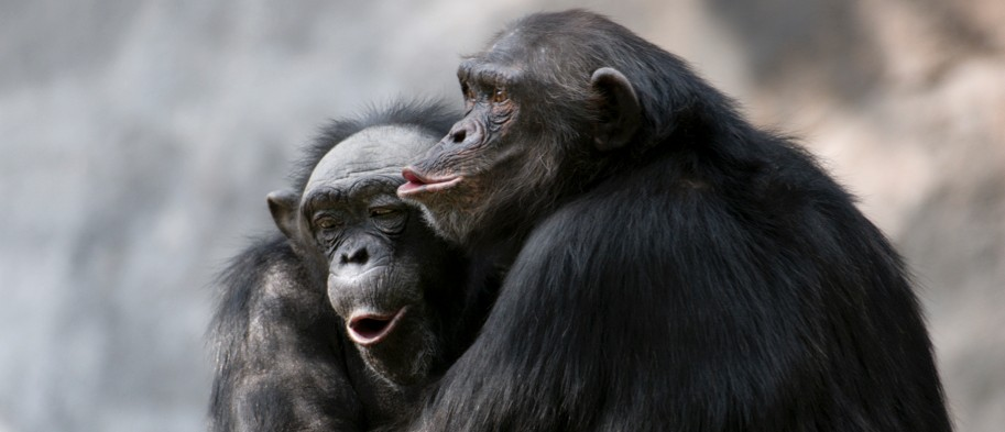 Ageing chimpanzees choose old friends over new connections