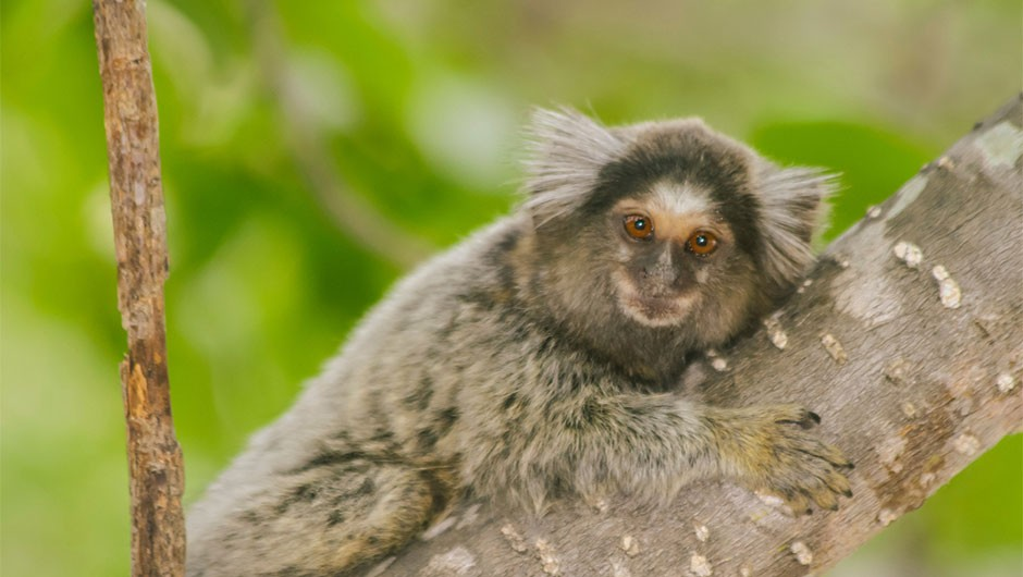Key language ability 'existed in ancient primate ancestors'