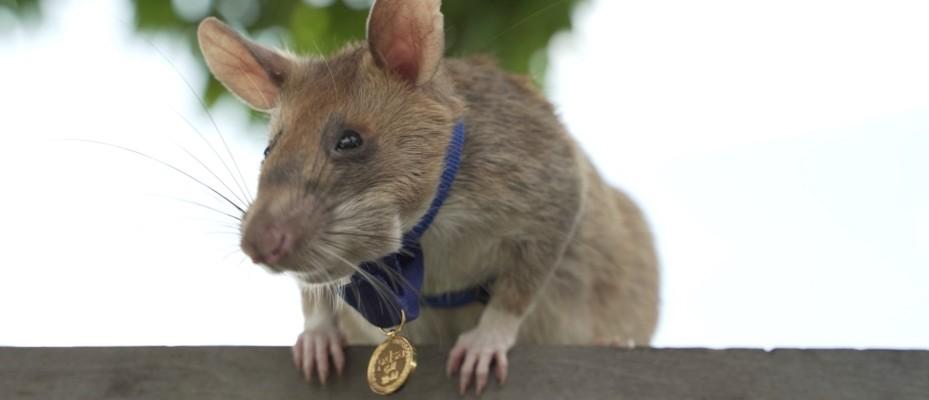 Adorable landmine-detecting rat awarded tiny medal for bravery