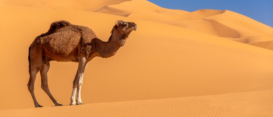 Desert camels inspire a new cooling technology