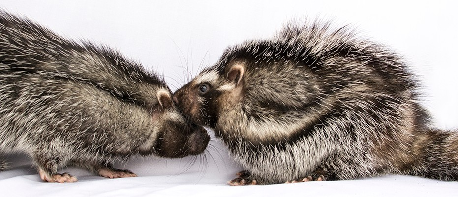 African crested rat: The rabbit-sized rodent with poisonous fur