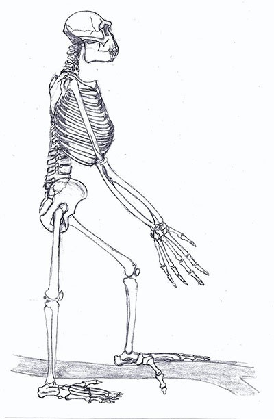 The full skeleton of Ardipithecus ramidus © Ori~, CC BY-SA 3.0 (https://creativecommons.org/licenses/by-sa/3.0), via Wikimedia Commons
