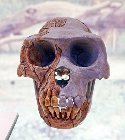 Ardipithecus ramidus skull in National Museum of Natural Sciences of Spain © Tiia Monto, CC BY-SA 3.0 (https://creativecommons.org/licenses/by-sa/3.0), via Wikimedia Commons