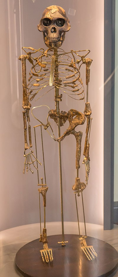 A replica of Australopithecus afarensis Lucy at the Natural History Museum Vienna © Johannes Maximilian, GFDL 1.2 (http://www.gnu.org/licenses/old-licenses/fdl-1.2.html), via Wikimedia Commons