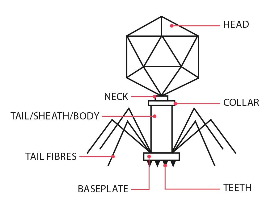 The anatomy of a bacteriophage