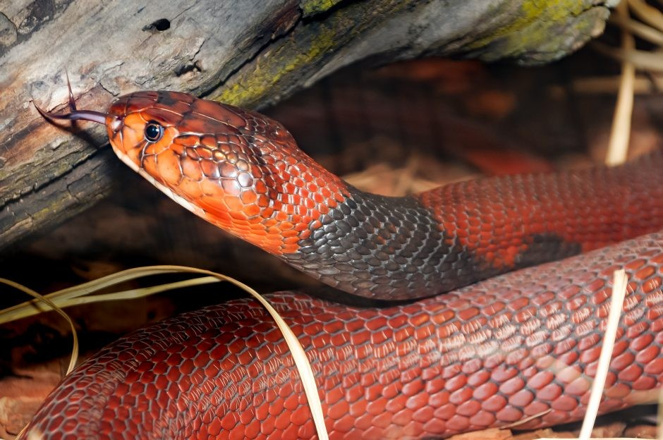 Revealed: How snakes defend against their own venom