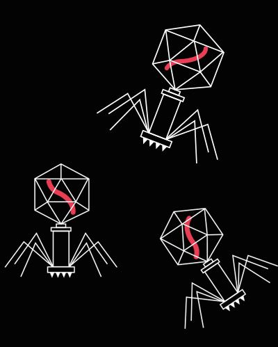 Life cycle of a bacteriophage