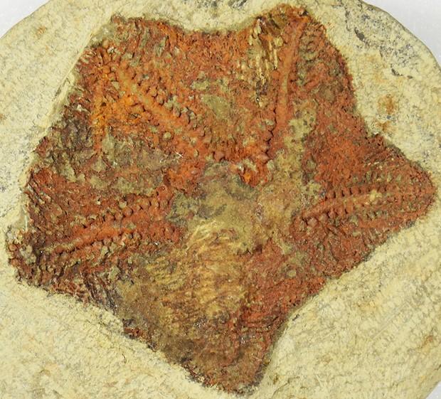 El fósil del animal más antiguo parecido a una estrella de mar, llamado Cantabrigiaster fezouataensis, fue descubierto en Marruecos © Yale University / PA