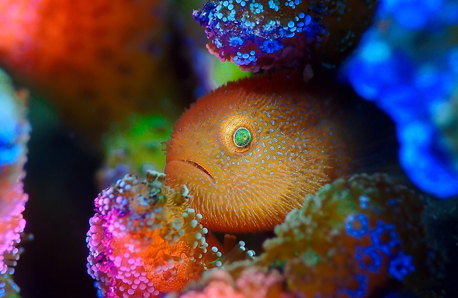 Photographed at Lembeh, Indonesia