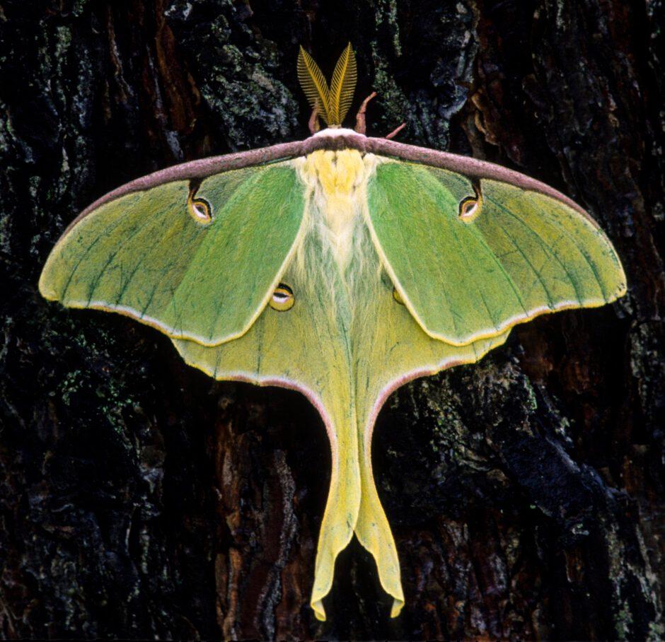 Luna moth © Getty Images
