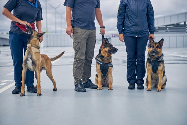 Belgian malinois and German shepherds were often used in the training, but other dog breeds do well at detecting COVID-19 too