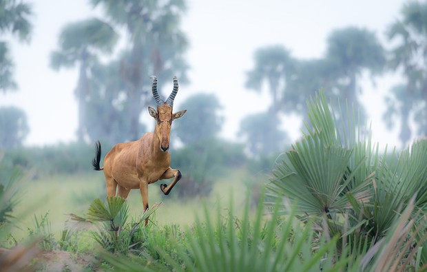 Male kongoni Murchison Falls National Park, Uganda