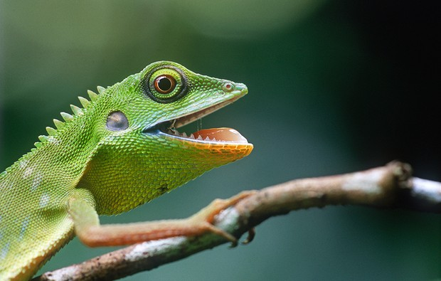 - A Green Crested Lizard (Bronchocela Cristatella) burping in its rest time on a tree's branch. - at Windsor Nature Park, Singapore