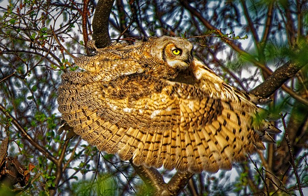 Great horned owl High River, Alberta, Canada