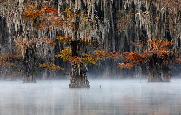 Bald cypress (AKA swamp cypress) East Texas, USA