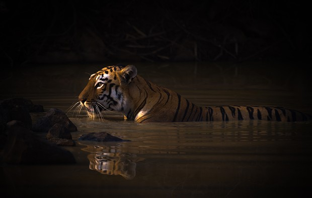 A Bengal tigress with a catchlight in her eye lies up to her neck in the dark shadows of a water hole. Her name is Maya 'The Enchantress', and she has orange and black stripes with white patches on her head. Shot with a Nikon D810 in Tadoba Andhari Tiger Reserve in India on 13 May 2017, which just happened to be my birthday! ISO 220, 800mm, f/5.6, 1/1000