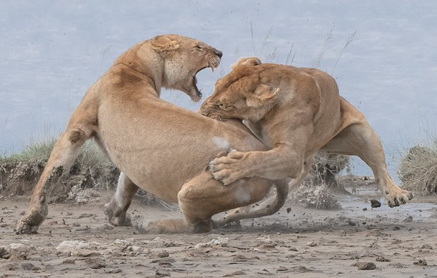 A pair of Lions fight on the Serengeti, Tanzania